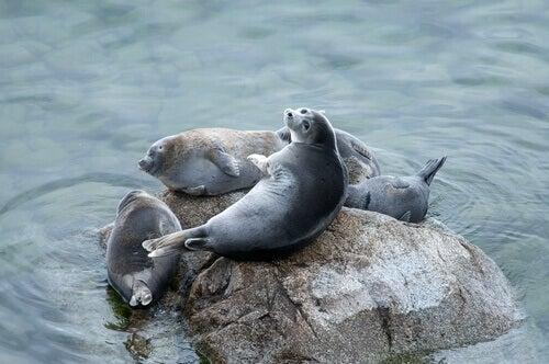 A picture of Baikal seals on a rock that live in Russia.