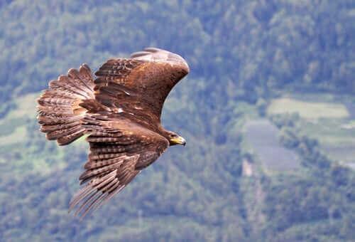 A flying bald eagle.