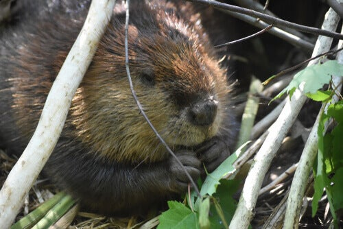 A beaver eating a plant.