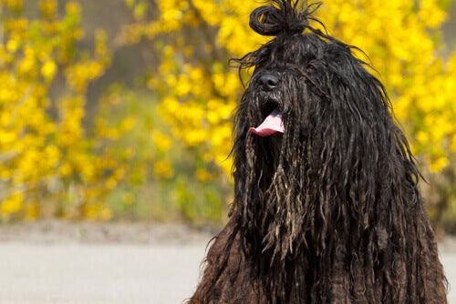 The Bergamasco Shepherd Dog Breed of the Italian Alps