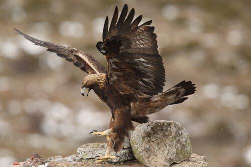 A golden eagle in flight.