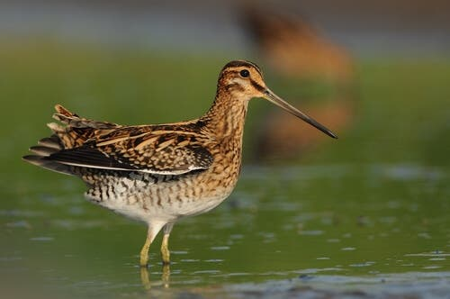 A great snipe.