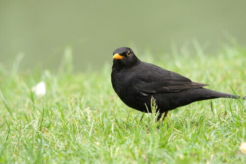 The Characteristics and Behavior of the Blackbird