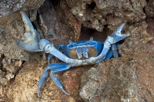 A male blue crab.