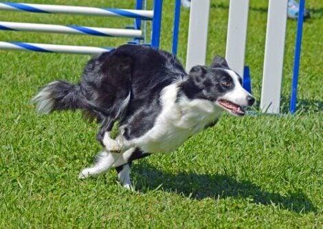 Border collies have good agility.