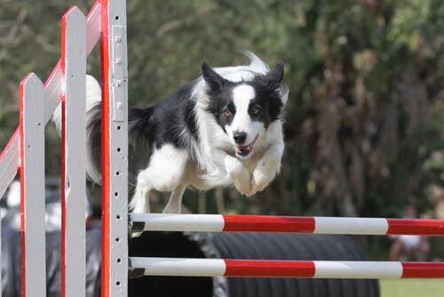 Agility Competitions and Border Collies