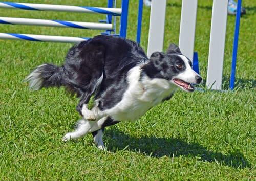 Border collies have good agility.