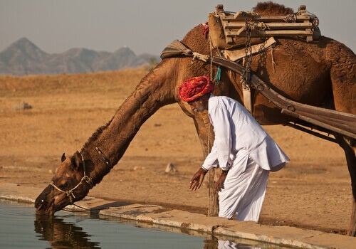 A camel drinking water.