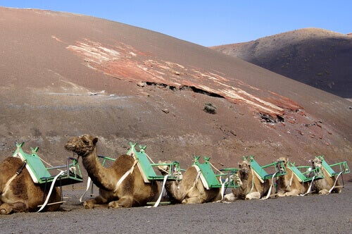 A group of camels for tourist transportation.