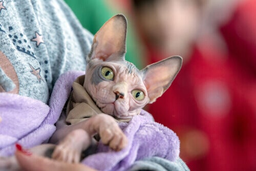 How to Bathe Hairless Cats