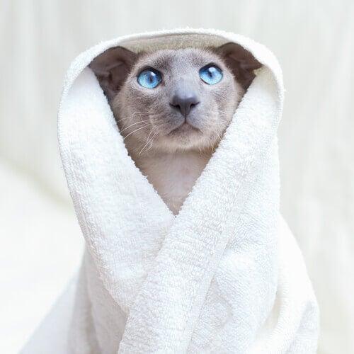 A cat in a towel.
