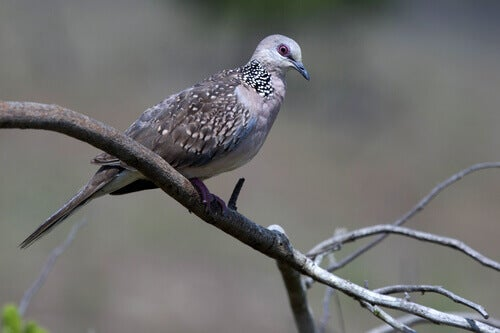 A Ceilan pigeon sitting on a branch.