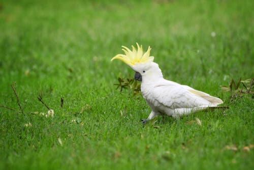Cockatoos are monogamous.