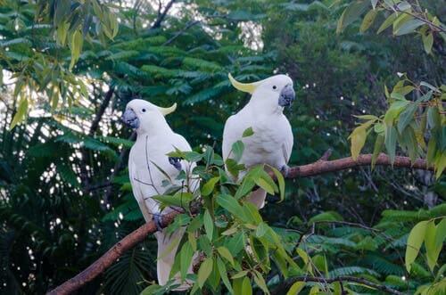 Cockatoos like music.