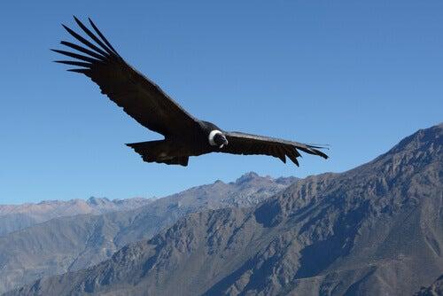 A condor flying.