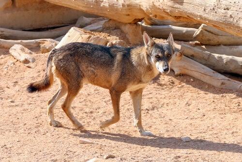 A wild coyote.