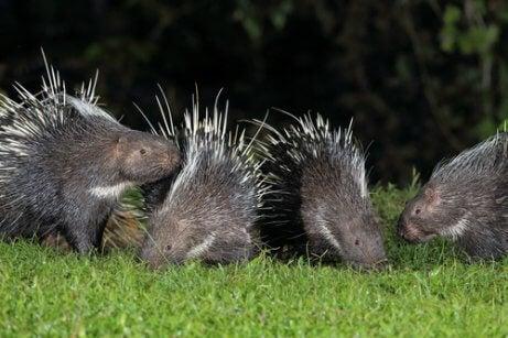 Four porcupines.