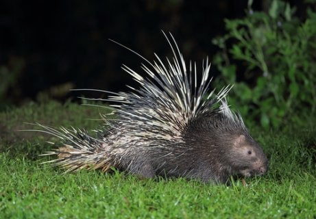 A crested porcupine with large quills.