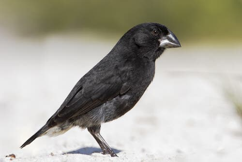 A black finch in the sand.