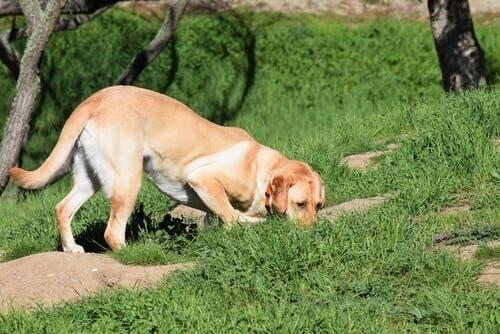 A dog sniffing something on the grass.