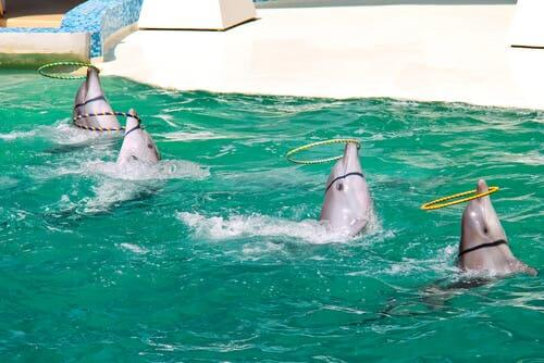 Dolphins playing with hoops during a dolphin show.