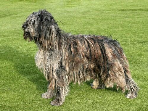 A dog with dreadlocks.