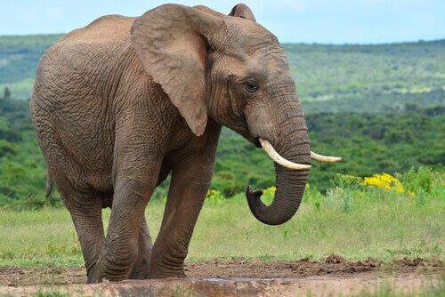 One of the tallest animals is the elephant.
