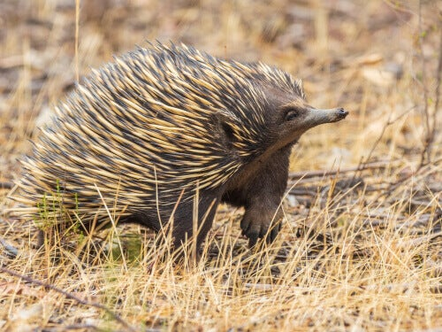 The echidna is one of those animals that eat ants.