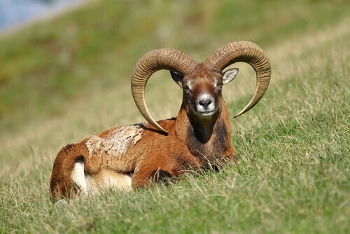 European mouflon, one of the antlered and horned animals.
