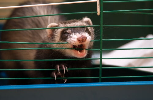 A ferret in a cage.