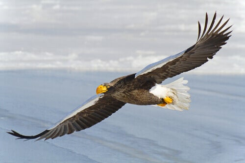 A white-tailed eagle in mid-flight.