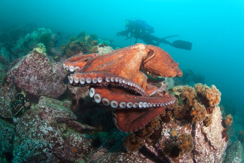 A Giant Pacific octopus.