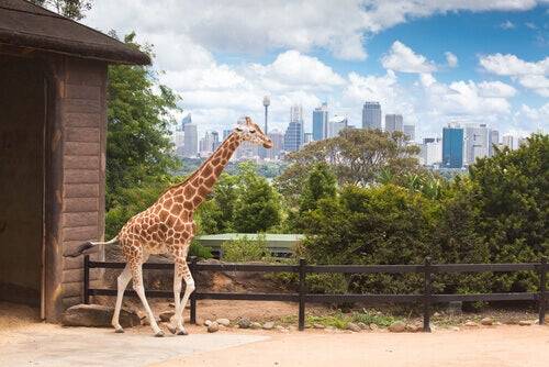 How to Measure a Giraffe? All About the World's Tallest Animals