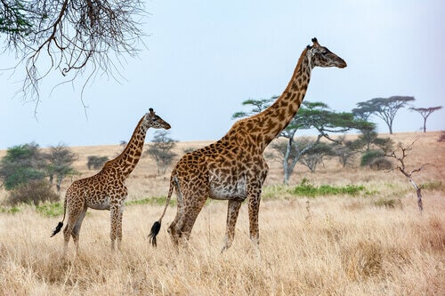 Two giraffes in the savannah.