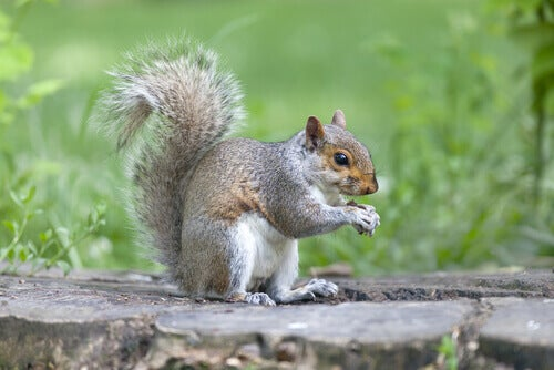 Gray Squirrels: Discover All Their Characteristics