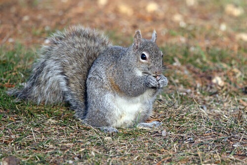 Gray squirrels are rodents.