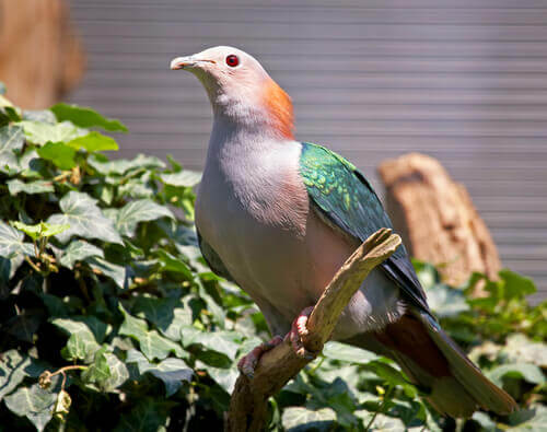 A picture of a Green imperial pigeon.