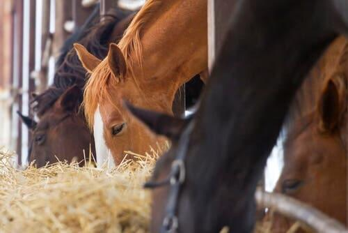 Colic is one of the common diseases in horses.