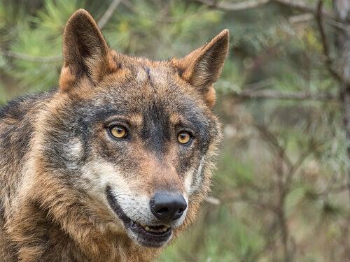An Iberian wolf.
