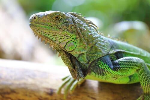 Some iguanas are endemic of the Galapagos Islands.