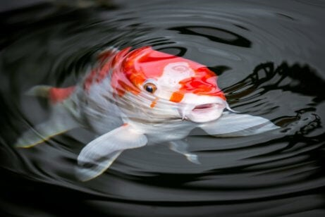 A koi fish in water.