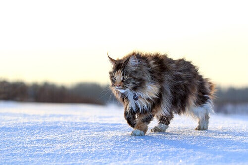 A Maine coon cat walking in the snow.