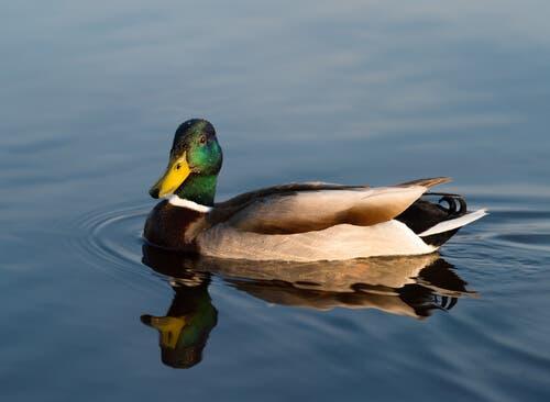 A mallard swimming.