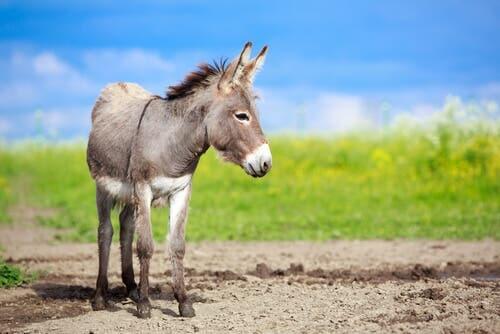 A mule in a field.