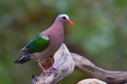 A multi-colored pigeon standing on a branch.