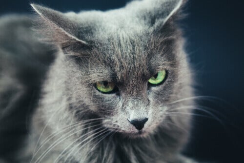 A rare domestic cat breed, the Nebelung.