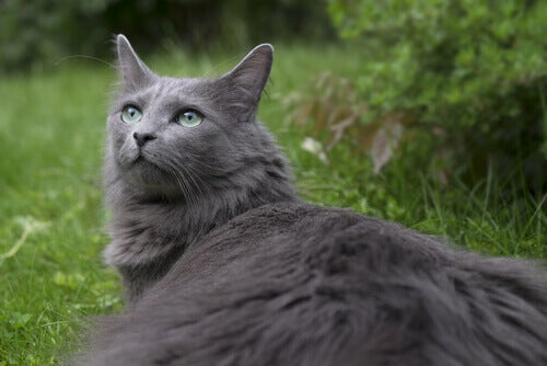 Meet the Nebelung: A Rare Pedigree Domestic Cat Breed