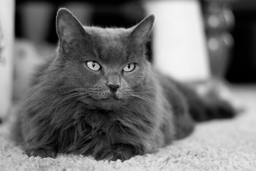 A white and black photo of a Nebelung cat.