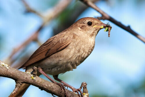 The song of the nightingale announces the arrival of spring.