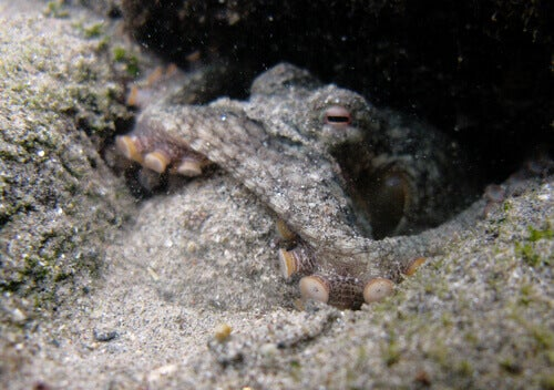 A camouflaged octopus.